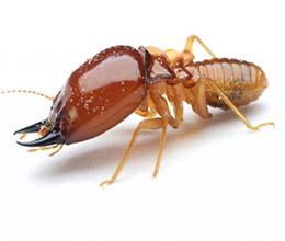 Dezinsectie termite